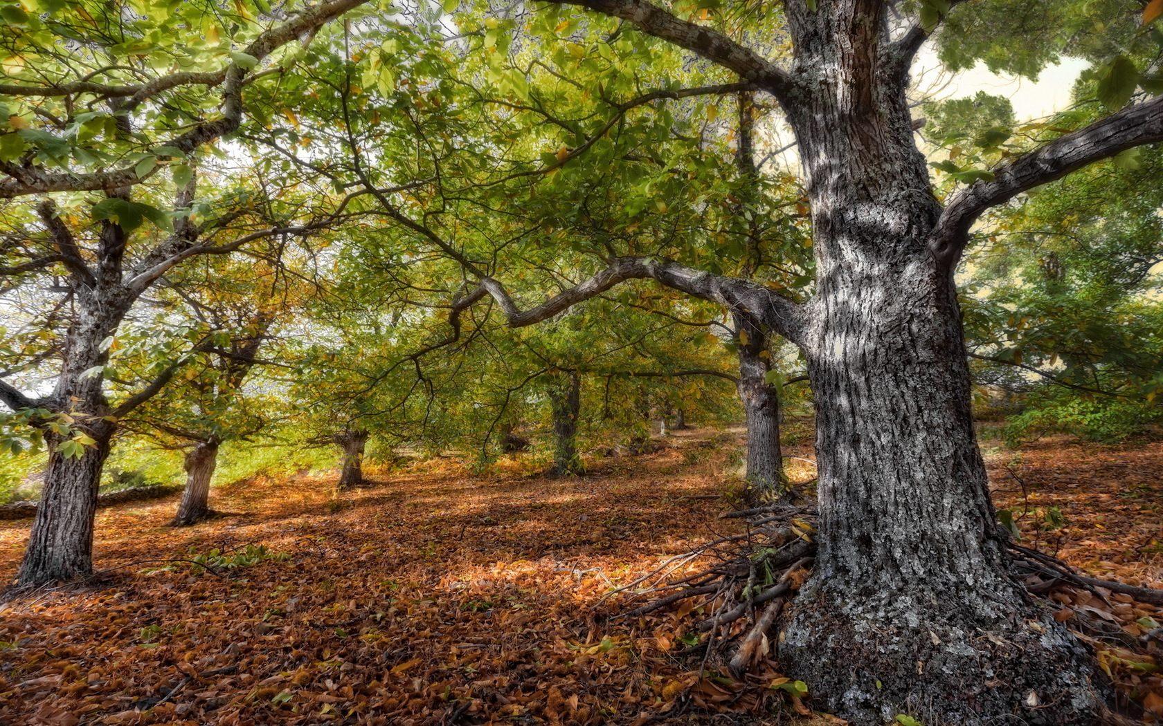 oak tree wallpaper forest