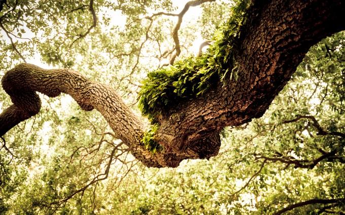 oak tree wallpaper green