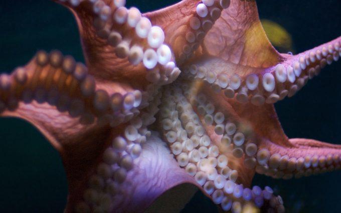 octopus wallpaper hd
