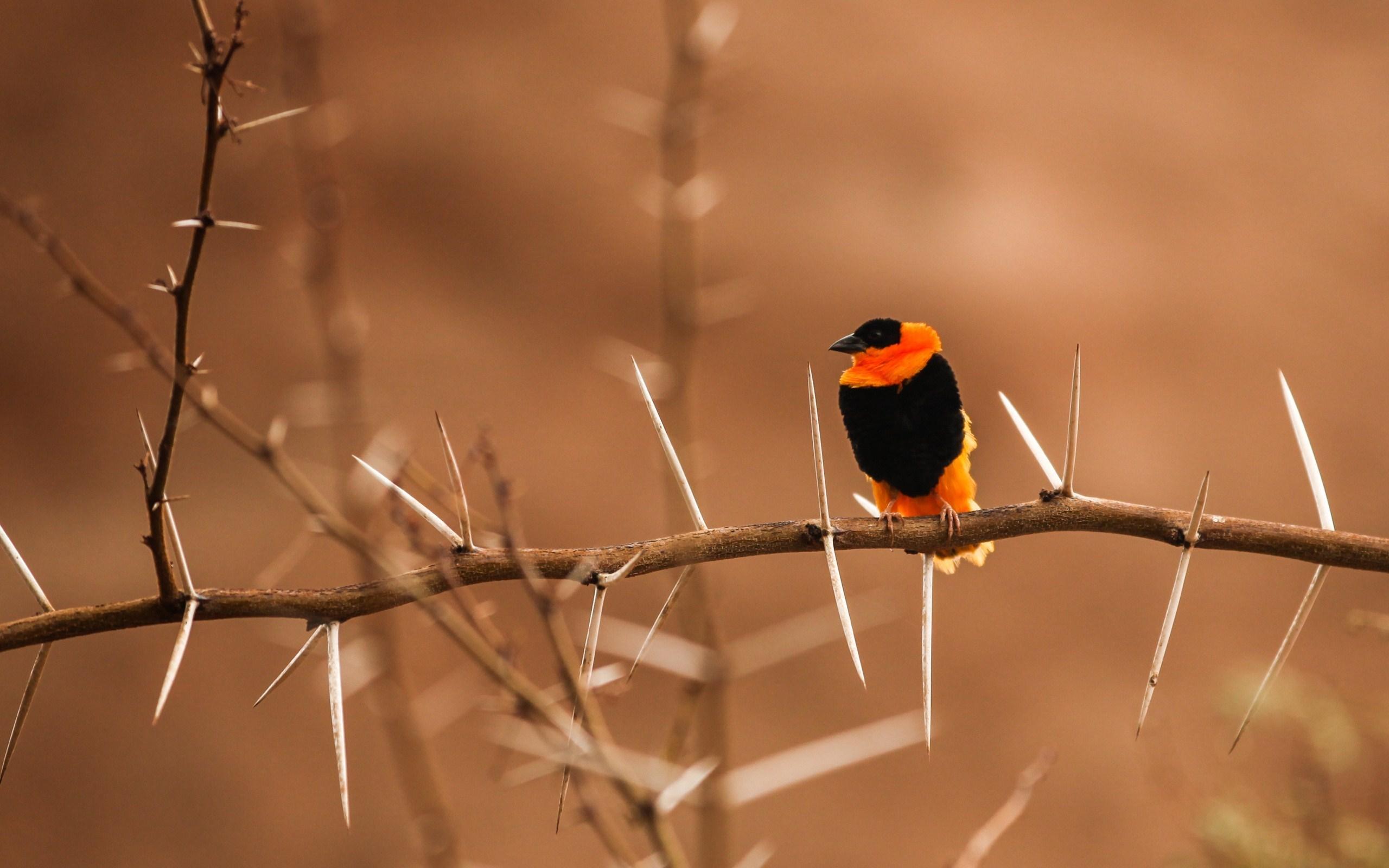 orange bird wallpaper