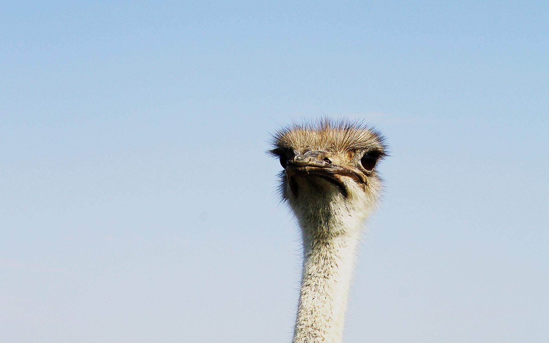 ostrich wallpaper