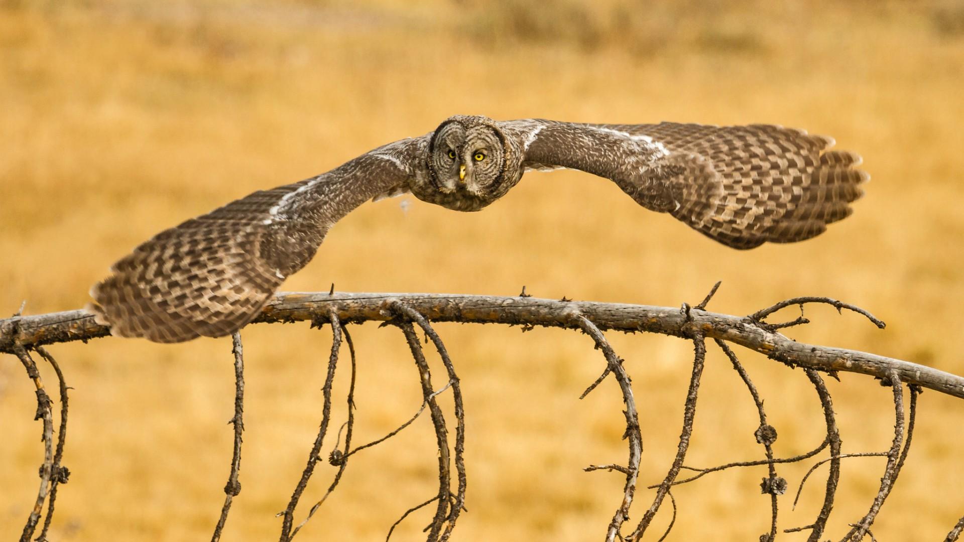 owl flying wallpaper