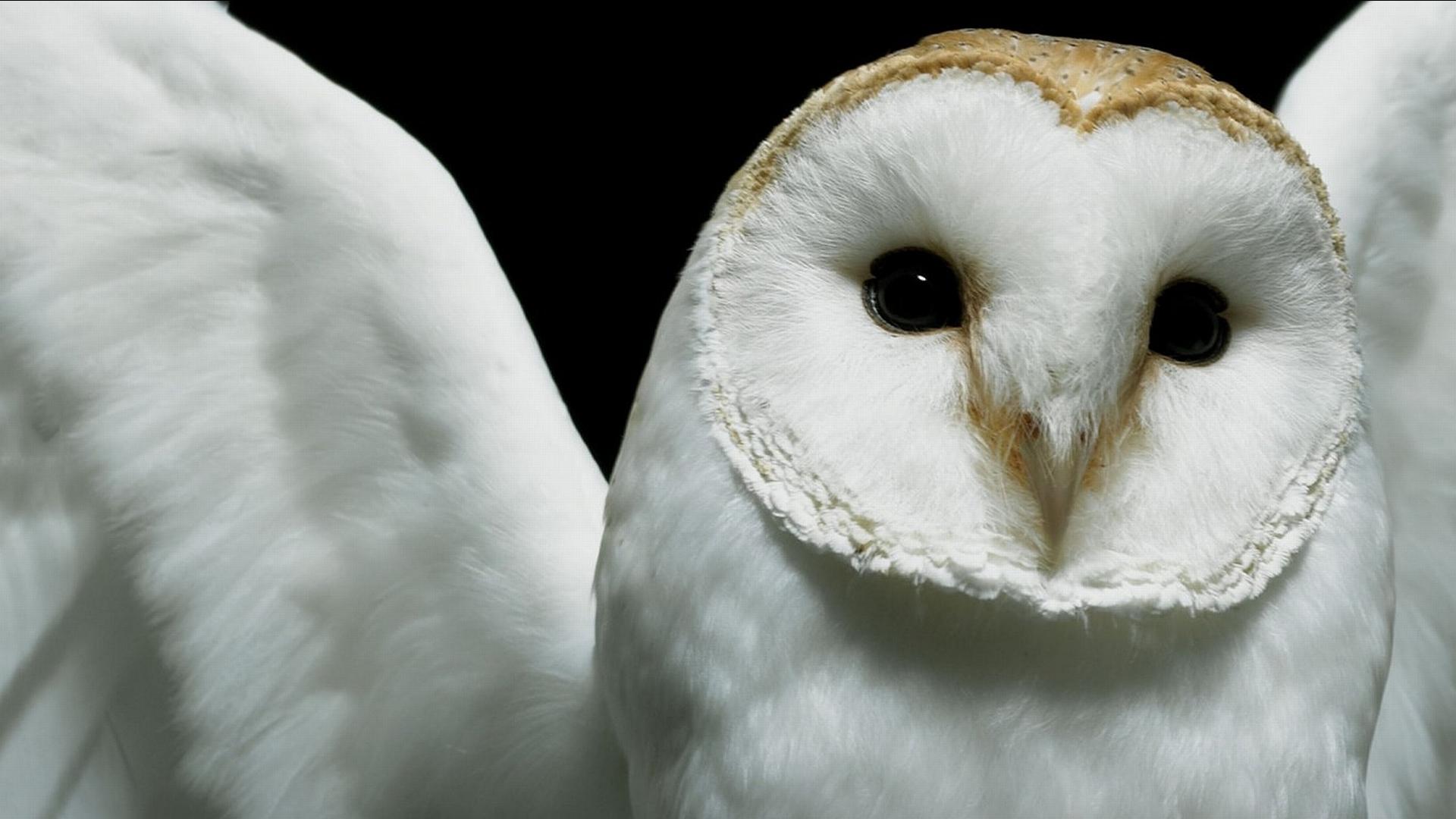owl hd wallpapers