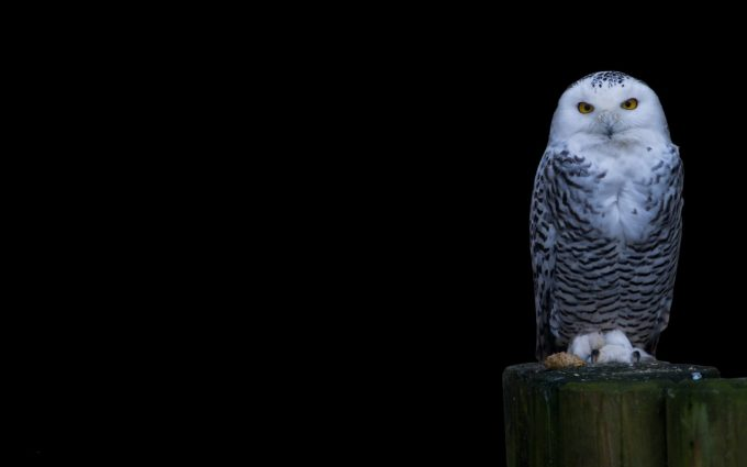 owl images free download
