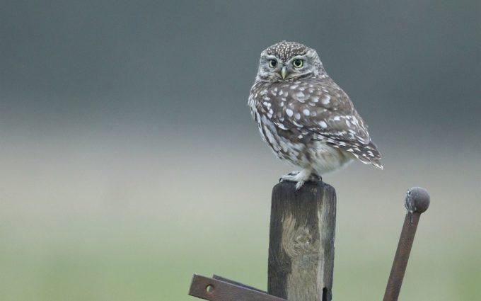owl wallpaper A4