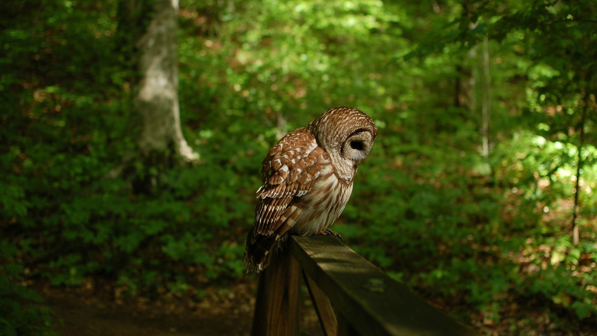 owl wallpaper A9
