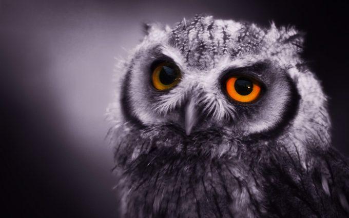 owls desktop wallpaper