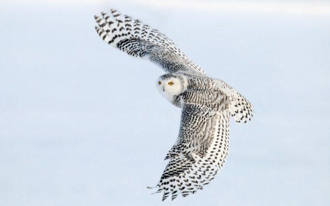 owls hd