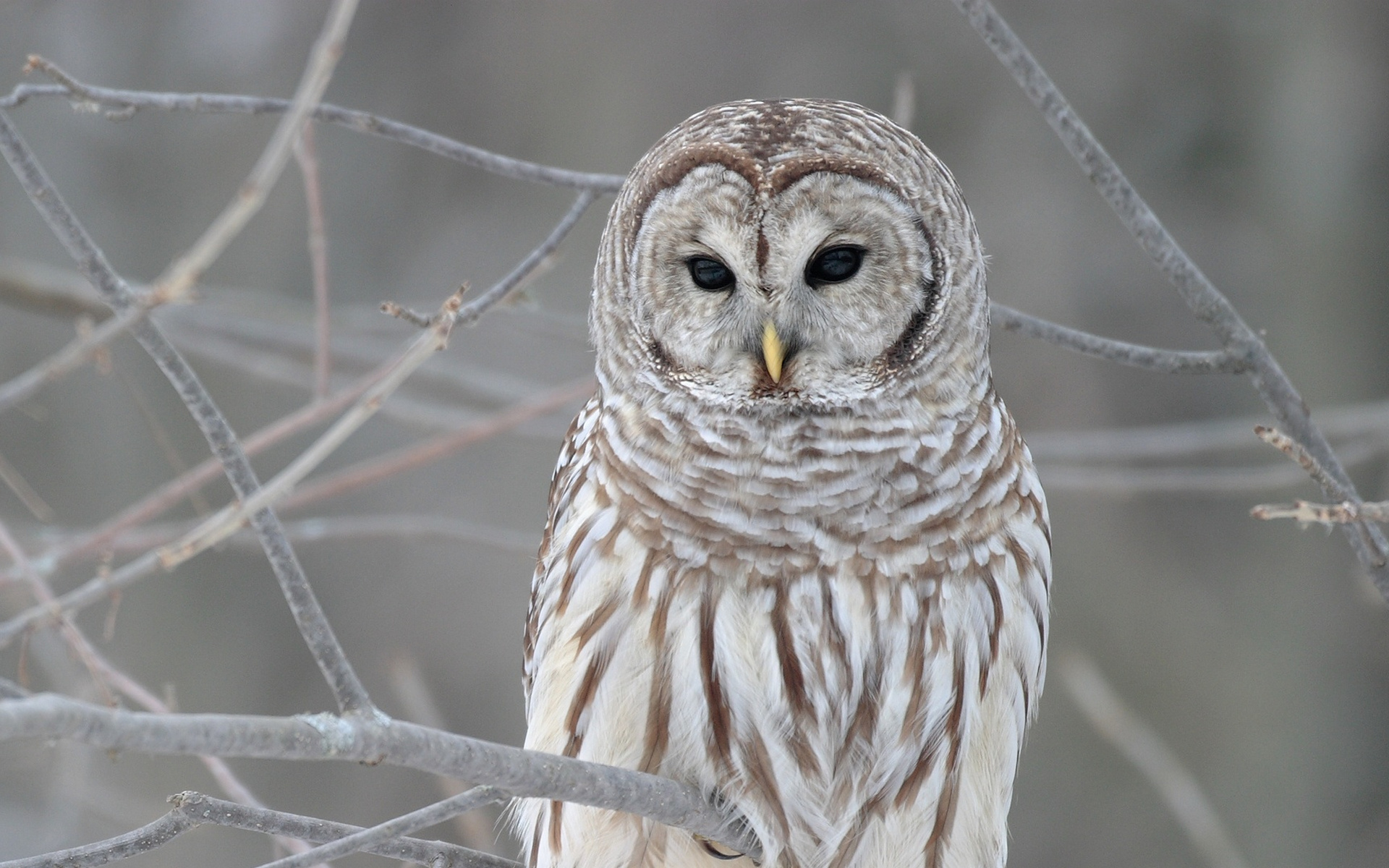 owls hd wallpapers