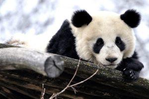 panda background