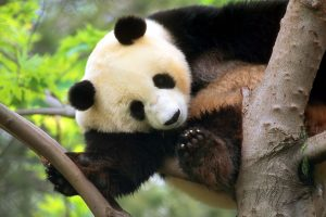 panda desktop background