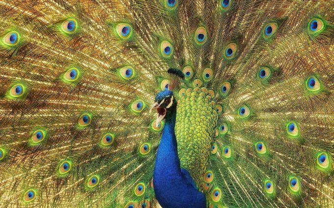 peacock birds