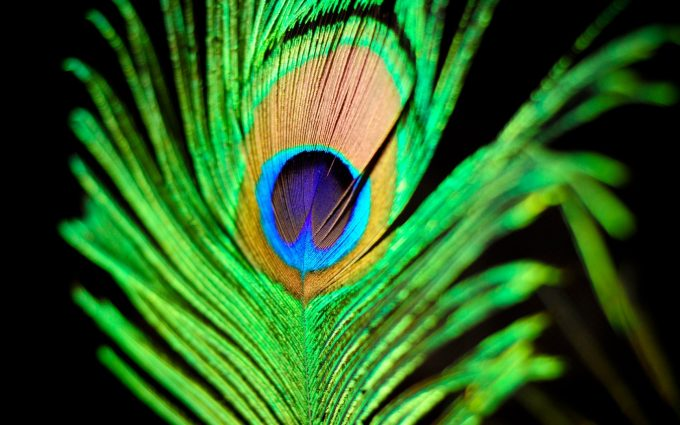 peacock pictures hd