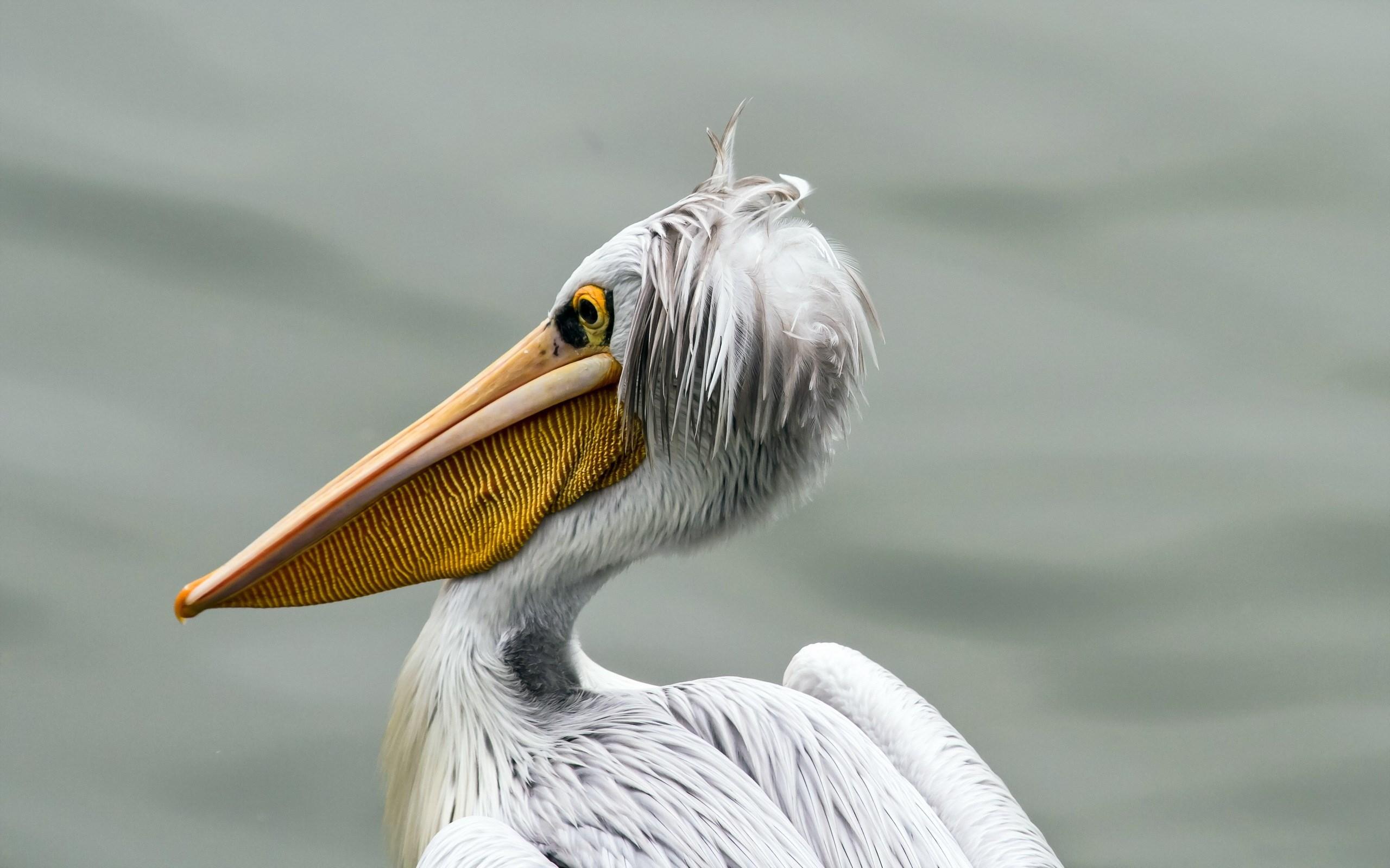 pelican wallpaper bird
