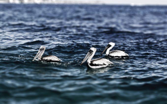 pelican wallpaper ocean