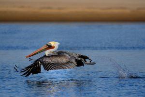 pelican wallpapers