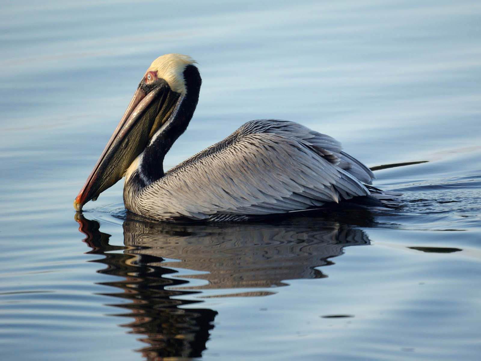 pelican wallpapers bird