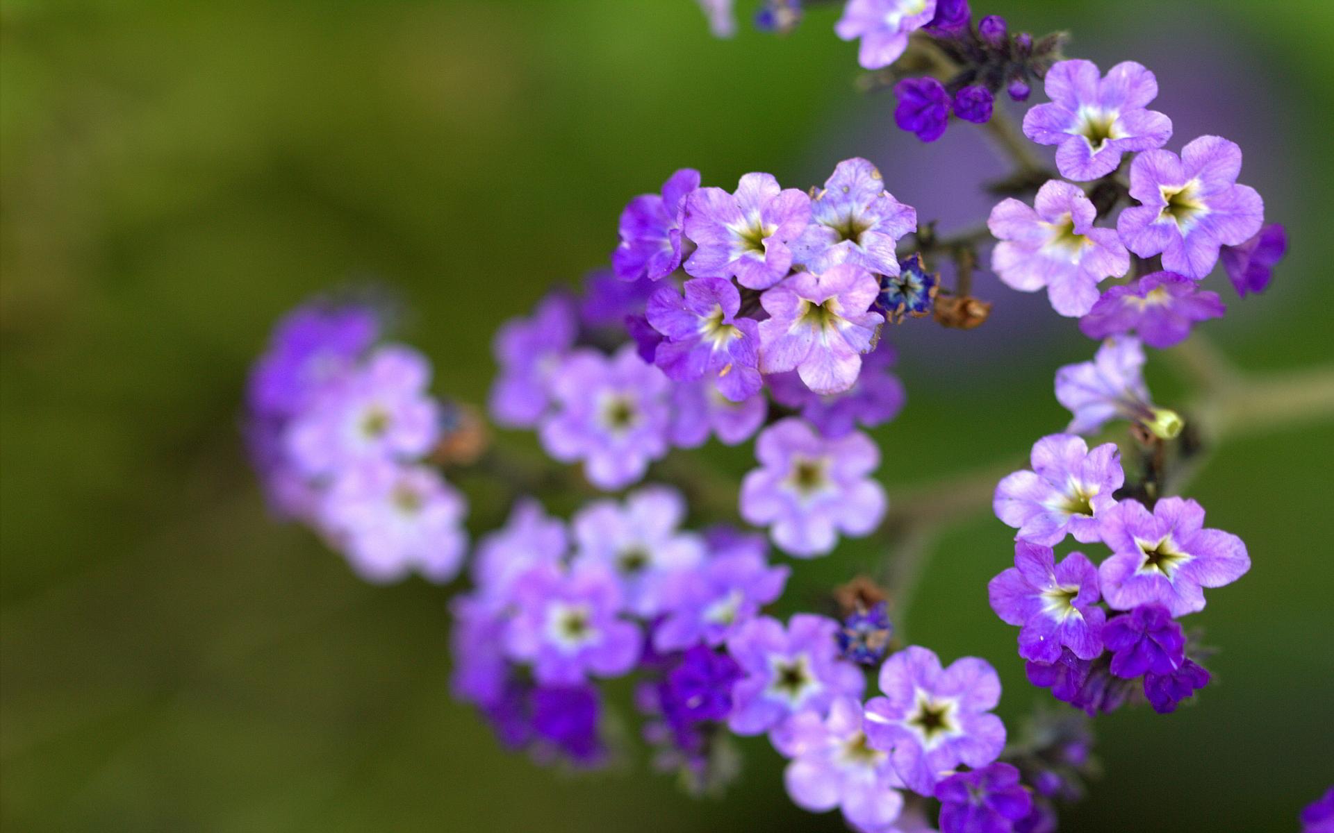 petunie flowers