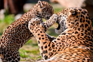 picture of cheetah and leopard