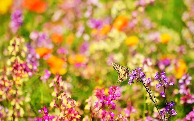 pictures butterflies
