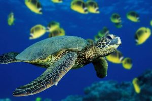 pictures of cartoon sea turtles