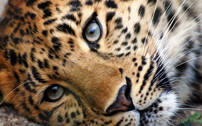 pictures of cheetahs