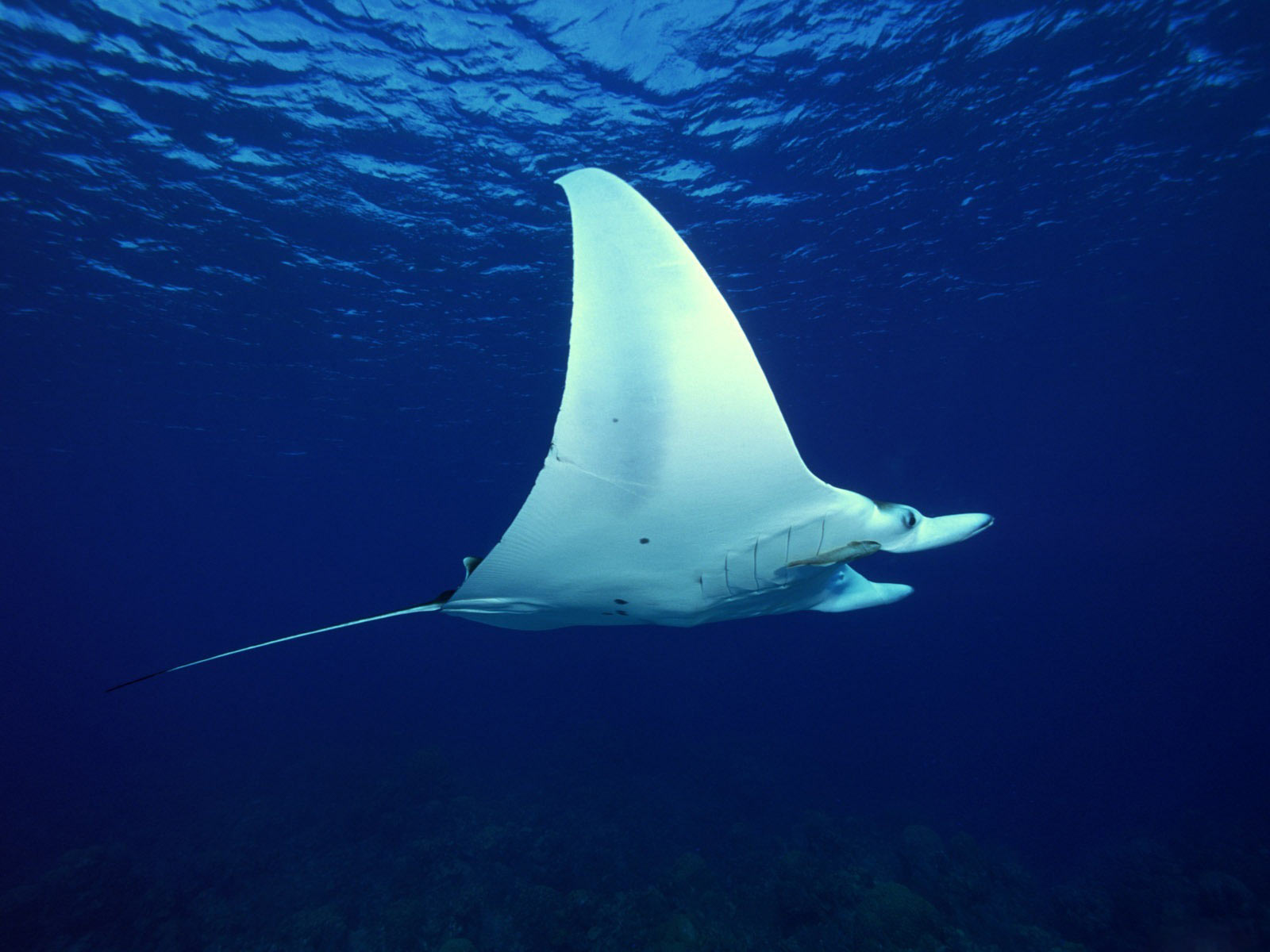 pictures of manta rays