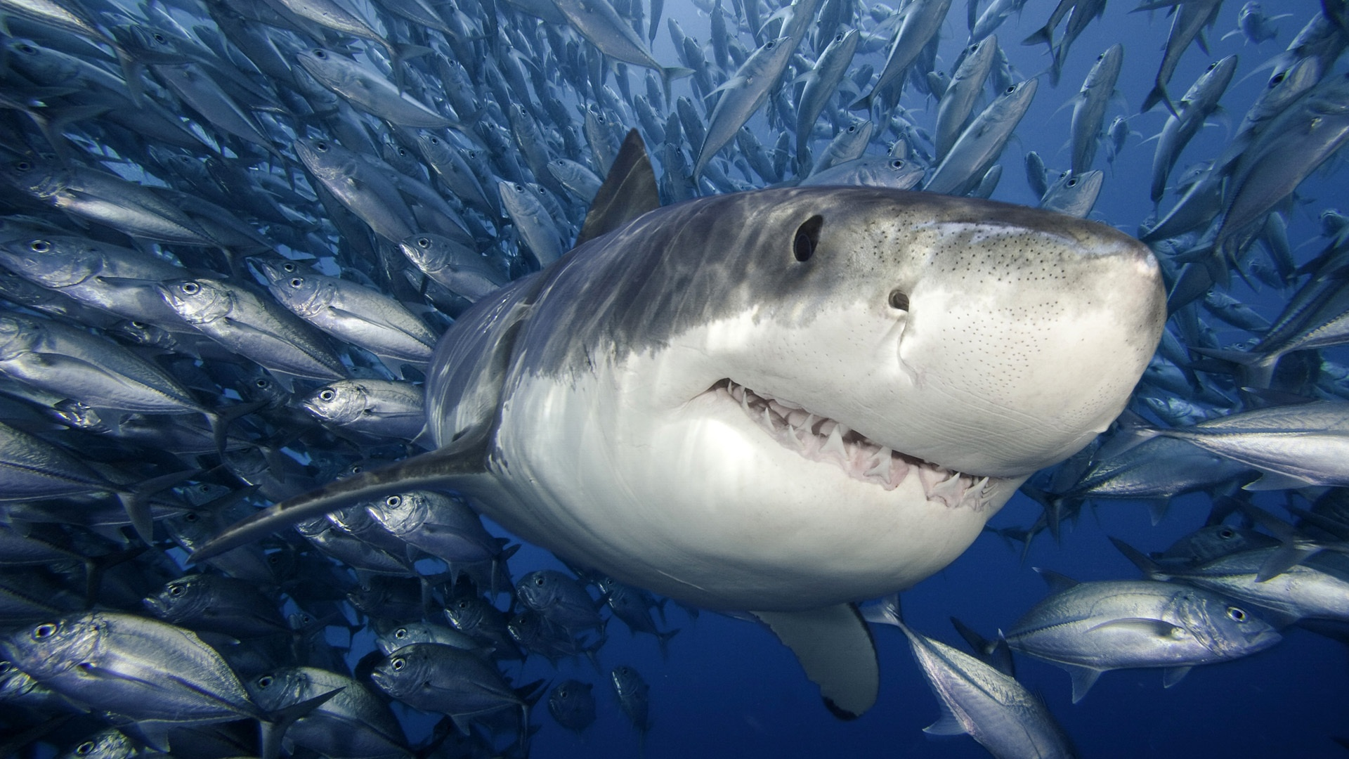 pictures of megalodon shark