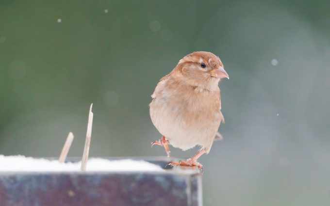 pictures of sparrow