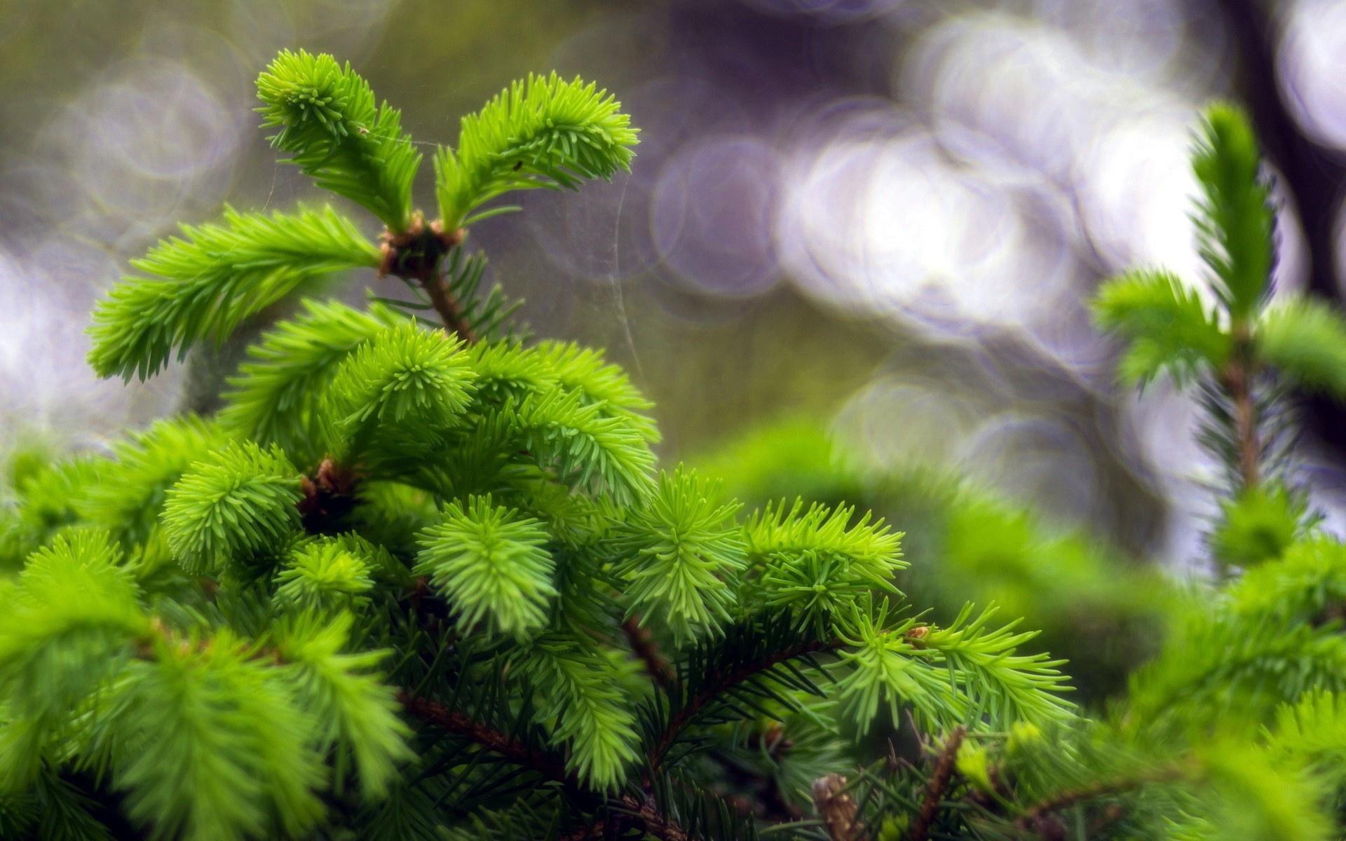 pine pictures desktop
