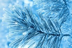 pine snow wallpaper