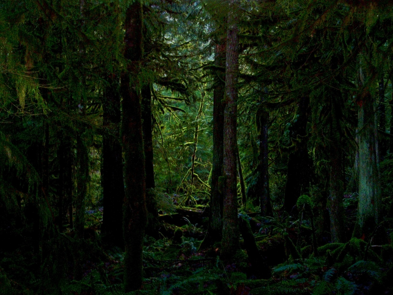 pine wallpaper dark