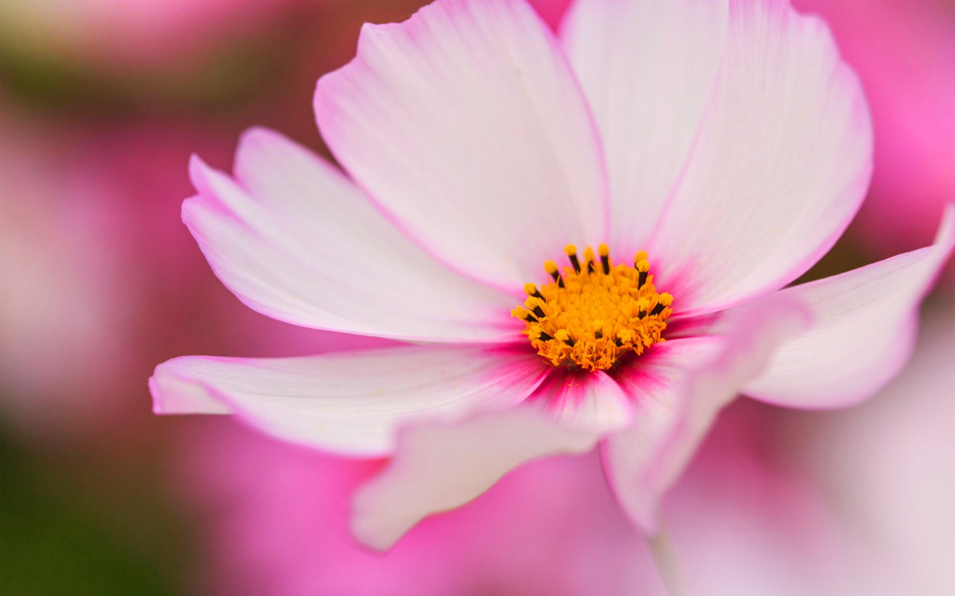 pink cosmea hd flower