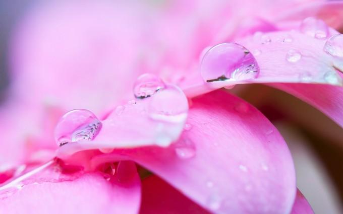 pink petals dew drops