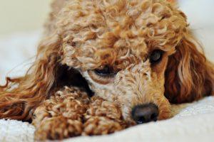 poodle picture cute