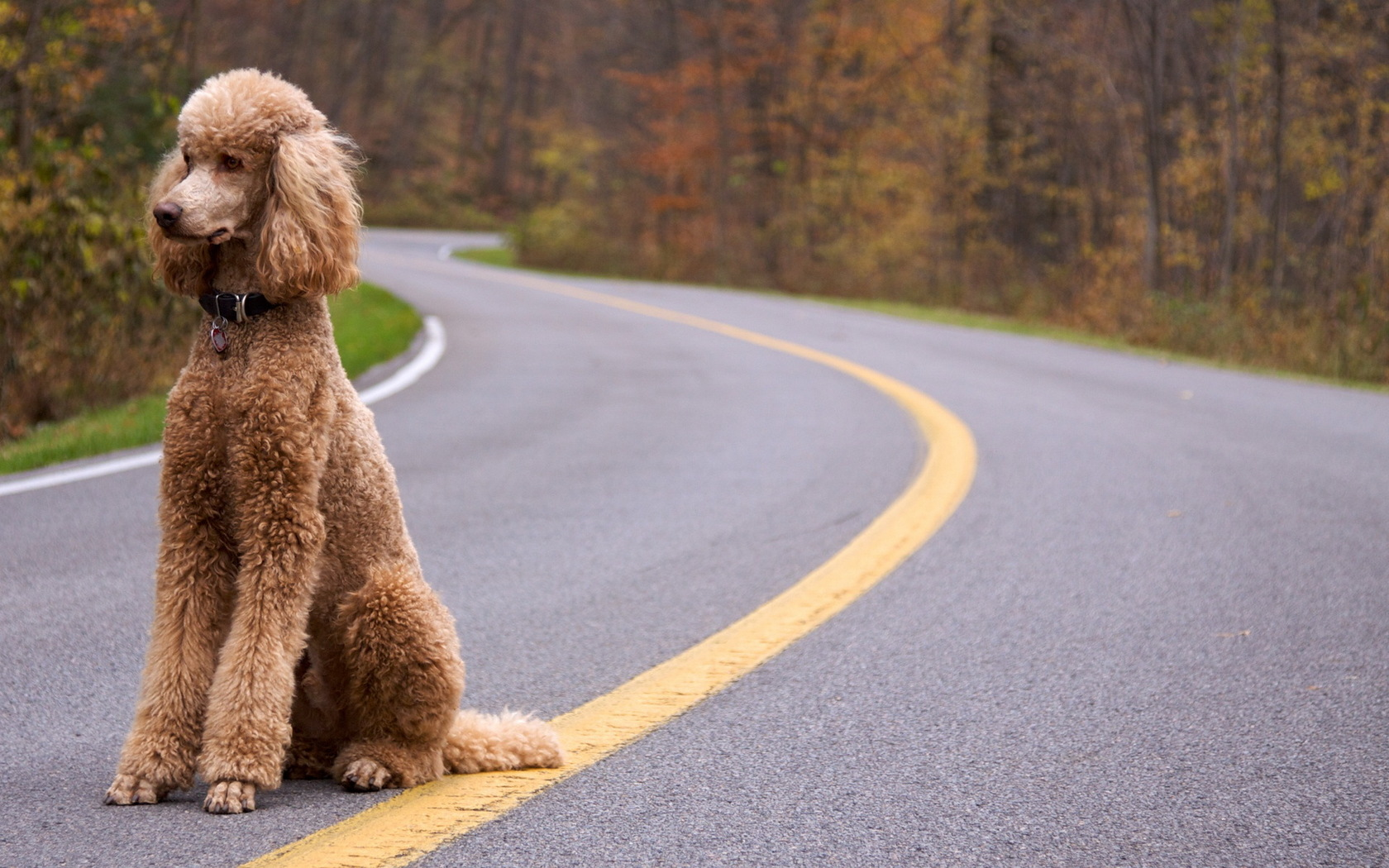 poodle wallpapers hd