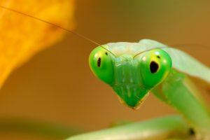 praying mantis catching prey