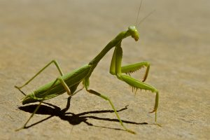 praying mantis pictures