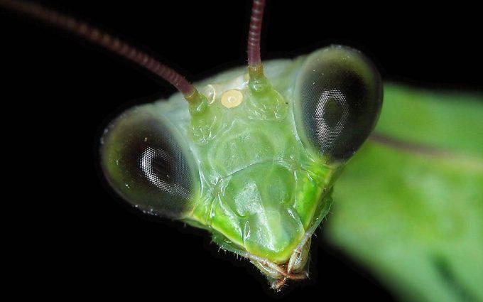 preying mantis images