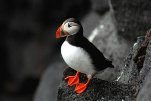 puffin backgrounds