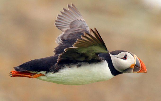 puffin seabird flying
