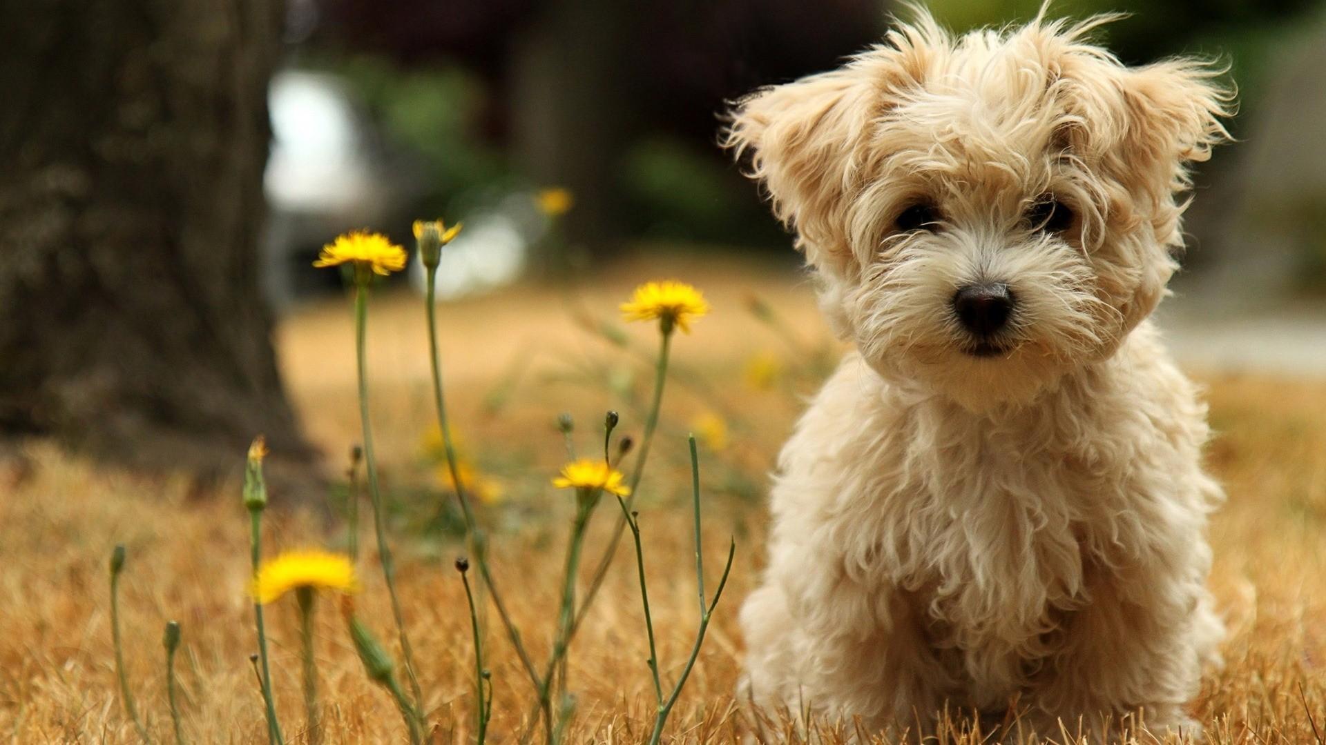puppies wallpaper maltese