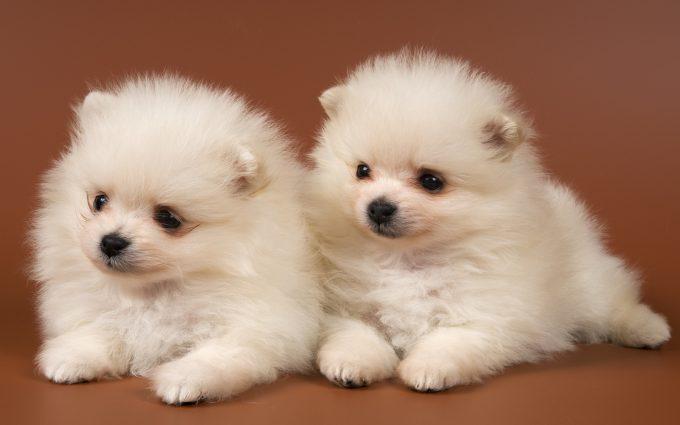 puppies wallpaper white