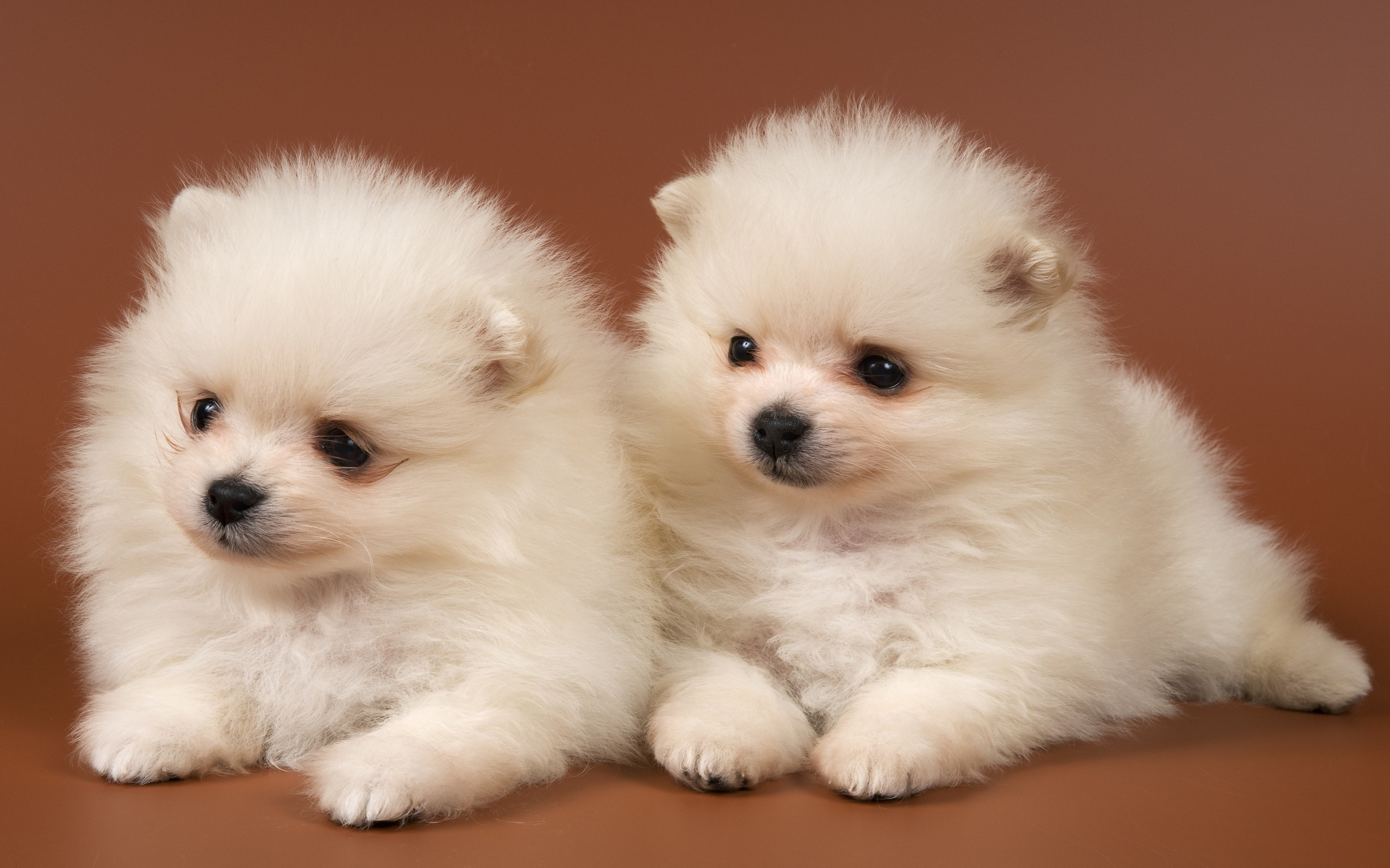 puppies wallpaper white