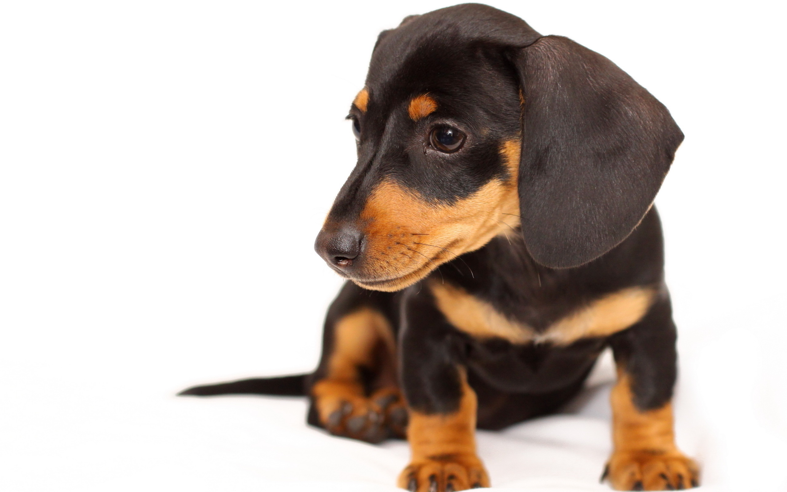 puppies wallpapers A9