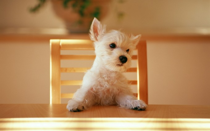 puppy hd wallpapers