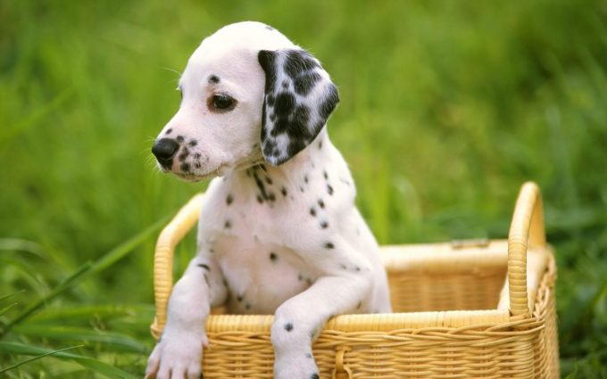 puppy wallpapers A7