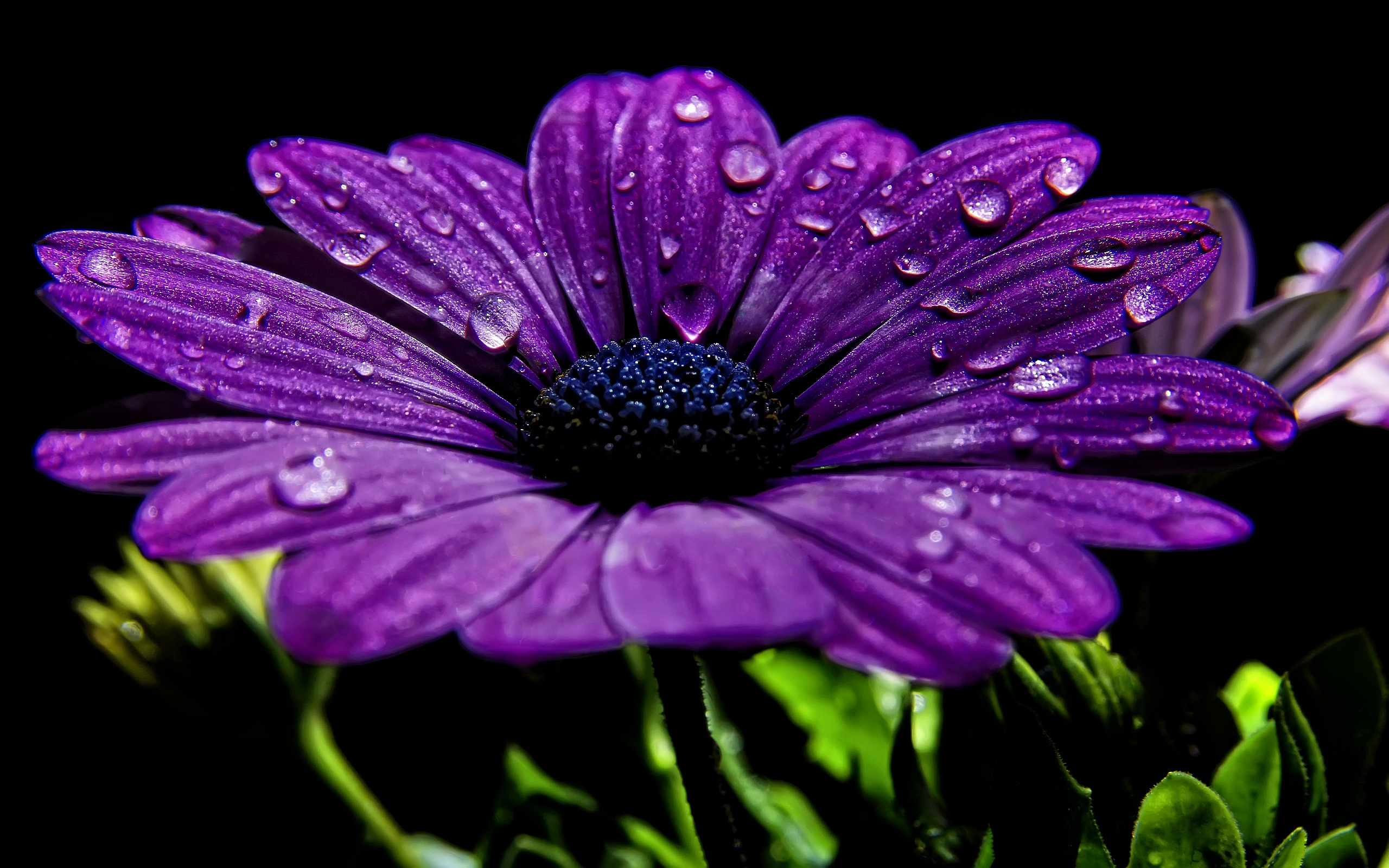 purple chrysanth flower