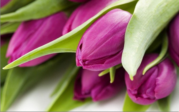 purple tulips images free