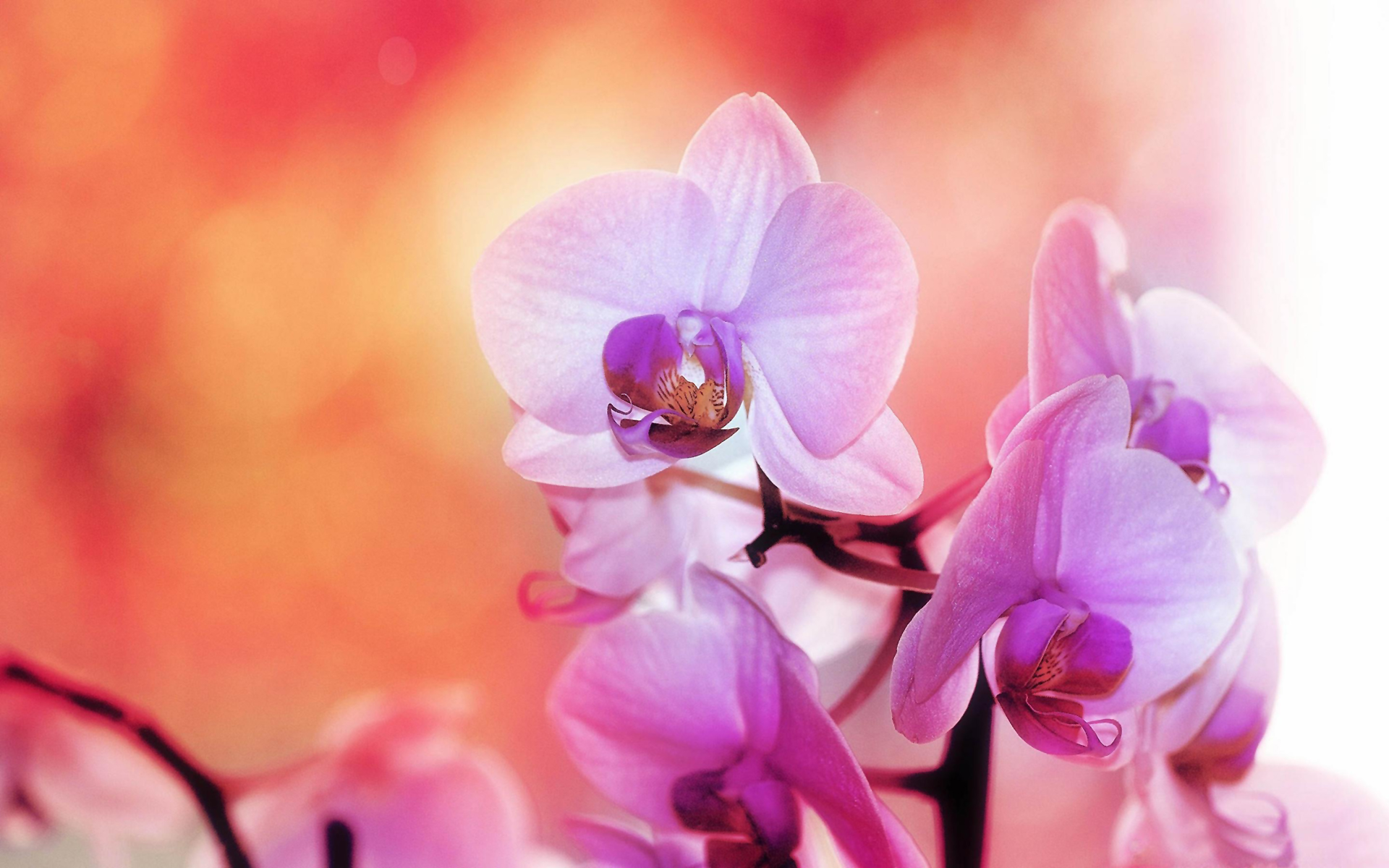 purple white orchids